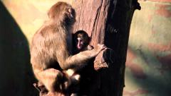 Monkeys family over wooden beam Stock Footage