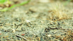 Walking Ants on a ground searching food Stock Footage