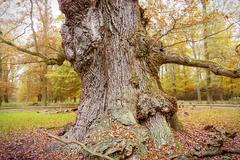 hdr shoot of an very old oak - stock photo