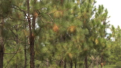 Pine Trees Stock Footage