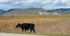 4k yak stroll on the land that After harvesting in shangrila yunnan,china. Stock Footage