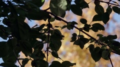 Autumn Leaves Silhouette Stock Footage