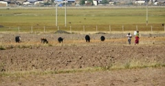 4k yak stroll & man on the land that After harvesting in shangrila yunnan,china Stock Footage