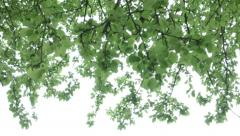 Canopy Tree Pan Right Stock Footage