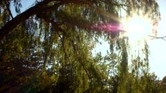 Willow Tree Medium Stock Footage