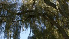 Willow Tree Branches Stock Footage