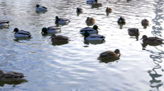 Ducks on the water. Winter Stock Footage
