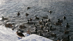 Ducks on the snow and in the water. 4K Stock Footage