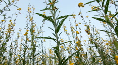 Crotalaria field - stock footage