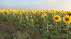 Sunflower crop in farm land. Agriculture. Food industry. Oil product. Stock Footage