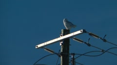 Snowy owl seated on its perch Stock Footage