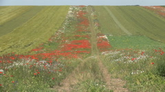 Agriculture farm land, cereal crops, fields of poppies in bloom, spring season. Stock Footage