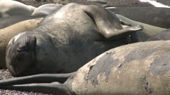 Colony of fur seals. Argentina - stock footage