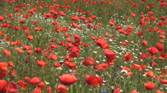Poppies and chamomile flowers swinging in the wind. Spring blossom. Stock Footage