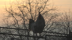 Male chicken perched yard rural farm sunset domestic bird protect animal daytime Stock Footage