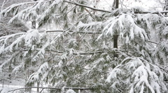 A Snow Covered Pine Tree Blows in the Wind Stock Footage