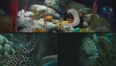 Composite of Moray Eel Swimming Back to its Home and Resting in a Coral Cave Stock Footage