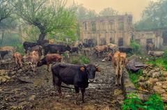 livestock in karabakh - stock photo