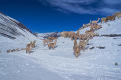 Herd of llamas in andes Stock Photos