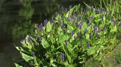 Pontederia cordata, pickerelweed blooming near pond + zoom out city park Stock Footage