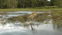 Kangaroo Hopping Through Flood Water - Pan Shot 30p Stock Footage