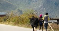 4k tibetan people Driving yak & cattle to the field,shangrila yunnan,china. Stock Footage