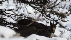 Rupicapra rupicapra on snow (2) Stock Footage