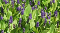 Pontederia cordata, pickerelweed blooming - full screen + zoom out Stock Footage