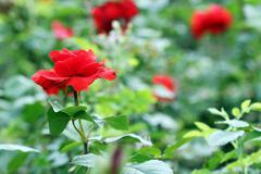 red roses flower spring season - stock photo