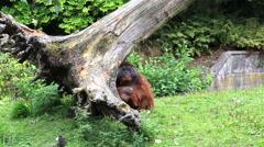 Male Bornean orangutan backs tree Stock Footage