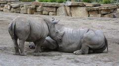 Cub Southern White Rhinoceros trying to wake his mother Stock Footage
