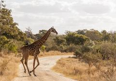 Kruger National Park - Giraffe - stock photo