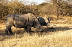 Kruger National Park - White Rhinoceros Stock Photos