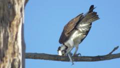 Osprey eating needlefish, Close, 4K Stock Footage