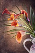 Calla lily flower in frot of red bachground zantedeschia aethiopica Stock Photos