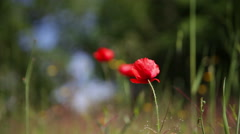 Blossoming red poppy against a green grass Stock Footage