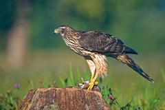 Juvenile northern goshawk with mouse - stock photo