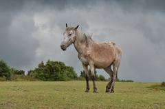 New-Forest-Pony - stock photo