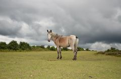 New-Forest-Pony in New Forest, England - stock photo