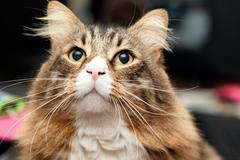 maine coon cat looking very interested - stock photo