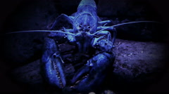 Blue lobster in a defensive stance. - stock footage