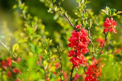 chaenomeles red blooming shrub - stock photo