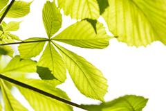 green aesculus horse chestnut foliage - stock photo
