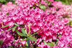 Rhododendron or azalea blossoms bunch Stock Photos