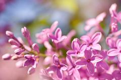 lilac flowerets bright pink - stock photo