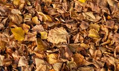 old fallen tilia leaves autumn - stock photo