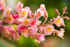 red chestnut tree blossoms - stock photo