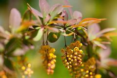 berberis yellow blooming shrub - stock photo