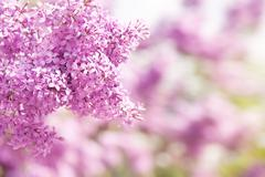 lilac vibrant pink inflorescence - stock photo