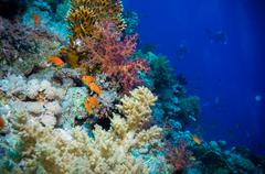 Tropical anthias fish with net fire corals Stock Photos